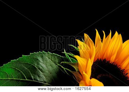 Sun Flower Background