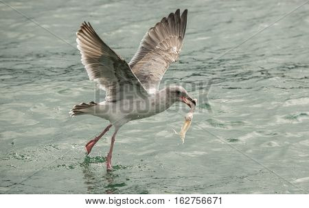 Seagull Mid Flight Holding Chicken Wind Stolen From Crab Trap