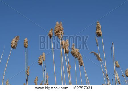 Whisk The Dry Reeds. Thickets Of Dry Reeds