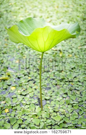 lotus leaf with light shining down in the garden