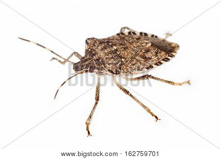 close up of a stink bug isolated over white