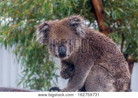 Koala bear (Phascolarctos cinereus) sitting in a eucalyptus tree with natural background. Frontal view looking at camera with eye contact. Koalas are marsupials endogenous to Australia.