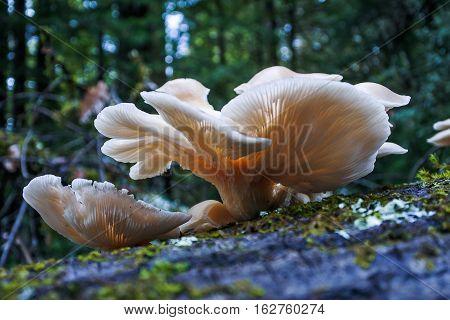 Oyster mushrooms growing on a dead birch tree in Californian Redwoods