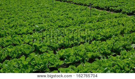 Vegetable Plantation In Mekong Delta, Vietnam