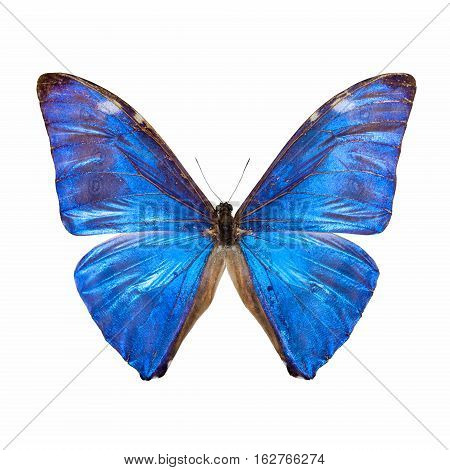 blue morpho butterfly isolated on white with clipping path