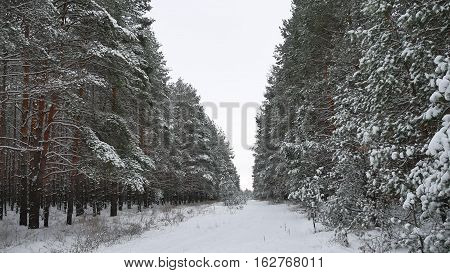 Winter christmas beautiful wild forest trees in snow tree nature landscape trees apex