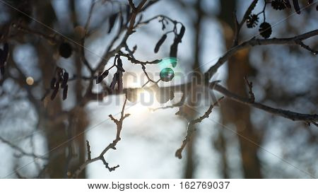 alder tree branch buds swaying in wind nature landscape spring offensive