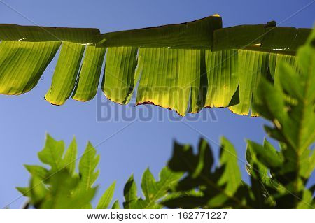 Green Color Leaf Of Banana In Nature
