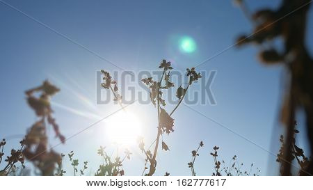 thorn silhouette dry grass sways in wind against a blue sky nature landscape