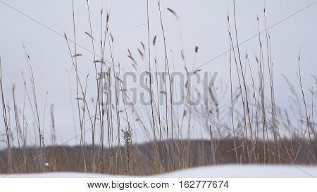 dry grass sways in wind snow winter field nature beautiful landscape