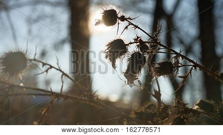 thorn silhouette dry grass sways in wind against a landscape nature forest