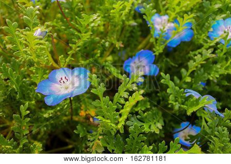 Lush blue flowers highlighted in green foliage found in a garden estate in Northern California.