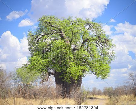 an imge of a flowering baobab in Africa