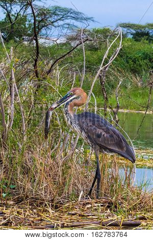 Goliath heron with fish. Lake Baringo, Kenya