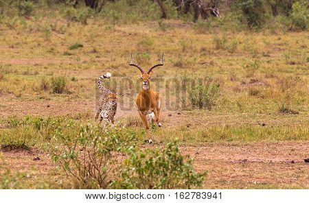 Fastest hunter of Savanna. Masai Mara, Kenya