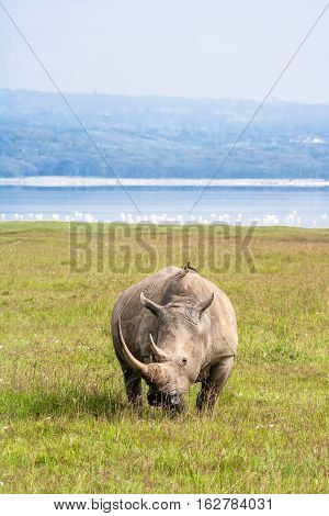 Very large white rhino from Nakuru. Kenya, Africa
