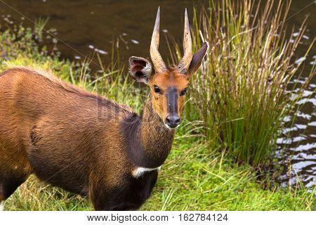 Bushbuck closeup. Near the river. Aberdare, Kenya