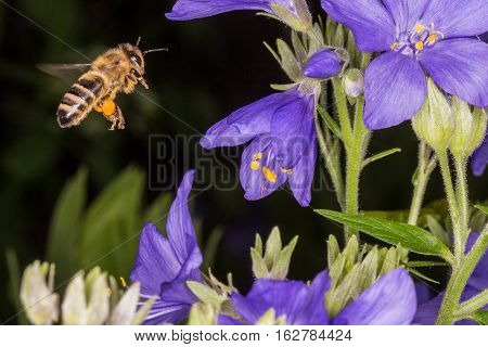 Macro photo. Bee in flight. Bee collecting nectar. Pollination of a flower Polemonium caeruleum