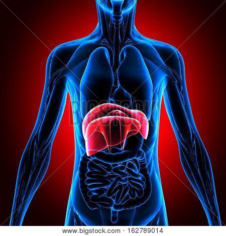 3d illustration human body organes.human body part.