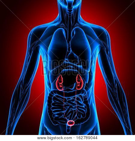3d illustration human body Kidneys.human body organs.