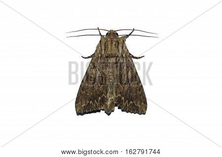 Copper Underwing Moth, Amphipyra pyramid from above on white background