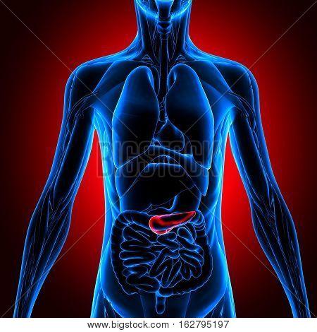 Human Gallbladder and Pancreas Anatomy Illustration. 3D rendering