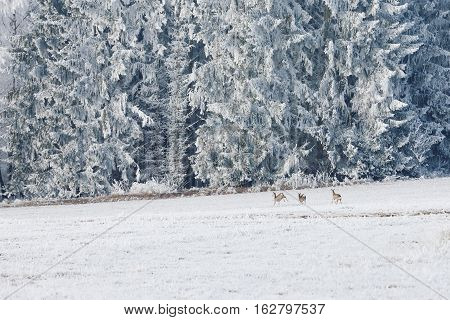 Leaping deer in a winter landscape. Winter landscape and a group of roe deer in the meadow in Sumava Czech republic. Frost-covered meadows and frosted trees in the Sumava. South Bohemia.