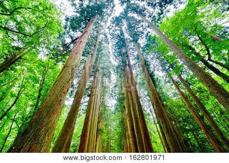It is majestic, Cedar tree of Togakushi Okusha