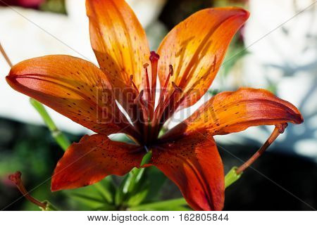 Orange lilly flowers growing in nature floral holiday sunny background