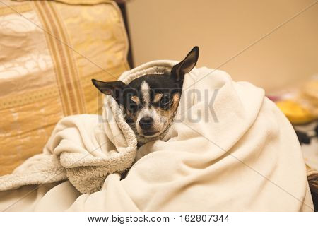 Adult chihuahua wrapped in up cozy blanket inside a home.