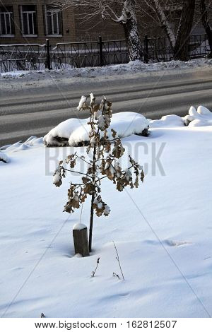A small sapling of the tree under fluffy snow in the winter. The frost a minus of 28 degrees Celsius.