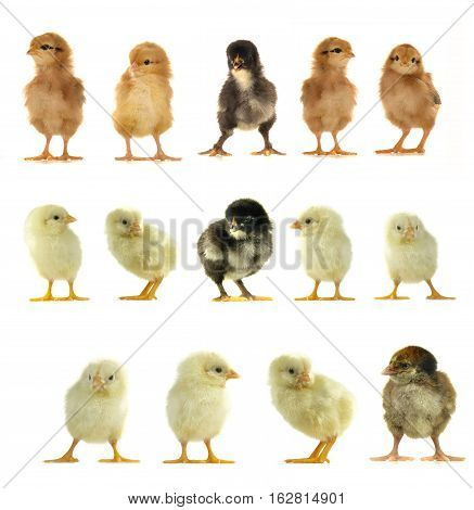 yellow, black and brown chickens on a white background