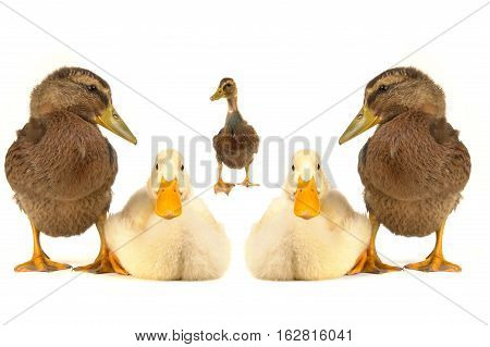 two white and three braun ducks on a white background