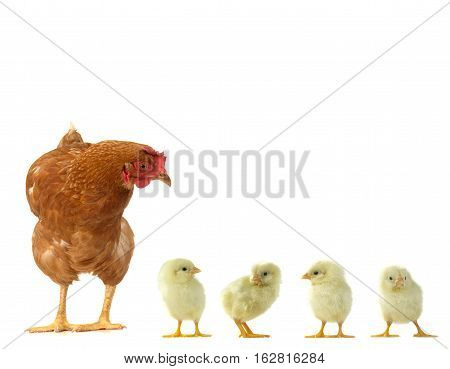 hen and yellow chicks isolated on a white background