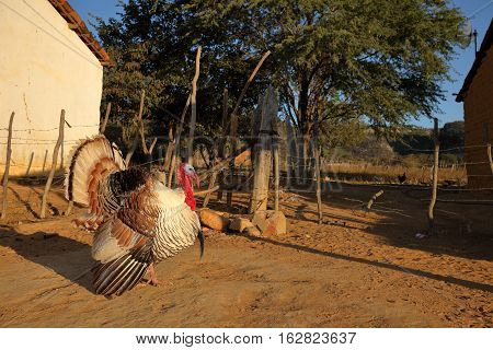 A proud Turkey at courtship at a farm