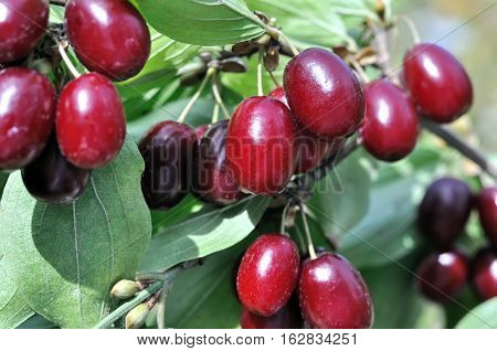 close-up of ripe red Cornelian cherries on the branch