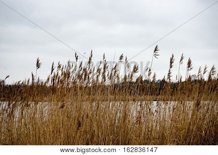 Brown Reed On The Shore Of A Small Lake