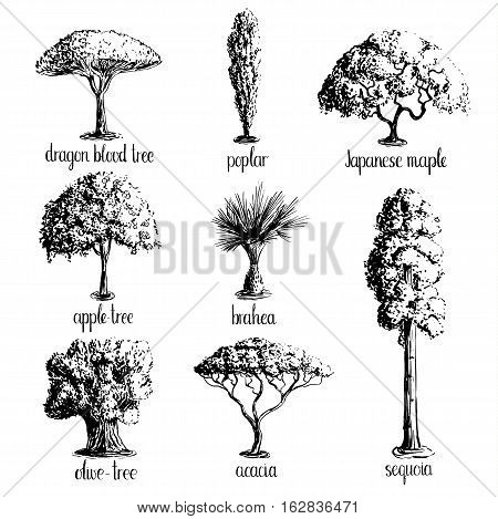 Set of hand drawn tree sketches -apple tree, olive, Japanese maple, acacia, brahea, poplar, sequoia, dragon blood. Black silhouettes isolated on white background