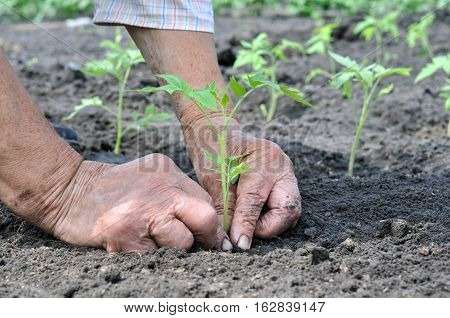 hands of senior woman planting a tomato seedling in the vegetable garden