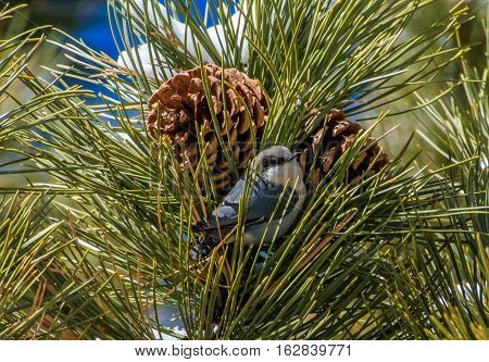 Pygmy Nuthatch and Pine Cone after snowstorm