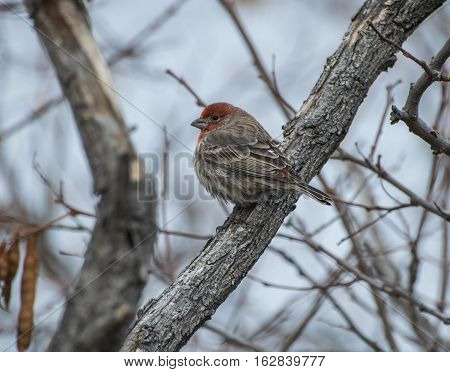 House Finch on a cold winter morning