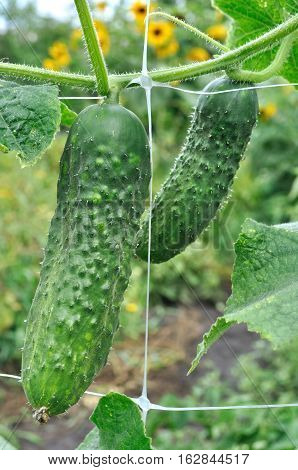 close-up of ripening cucumbers in the vegetable garden