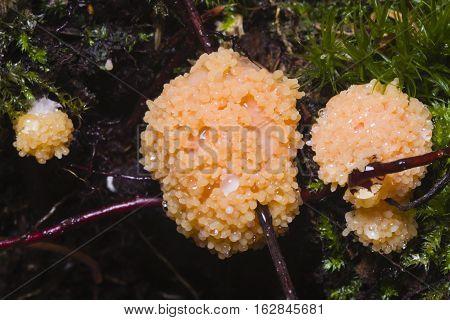 Red Raspberry Slime Tubifera ferruginosa in forest macro selective focus shallow DOF.