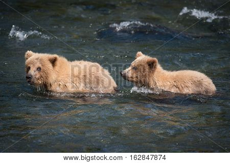 Two Brown Bear Cubs In The River