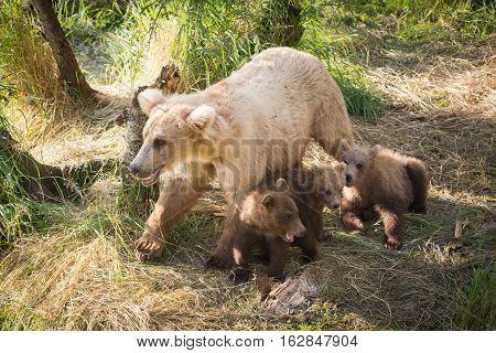 Alaskan Brown Bear Sow With Three Cubs