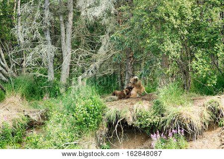 Brown Bear Sow Nursing Cubs