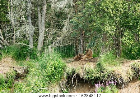 Brown Bear Sow Nursing Cubs