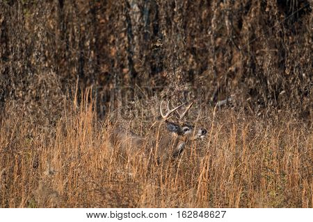 White-tailed Deer Buck In High Weeds