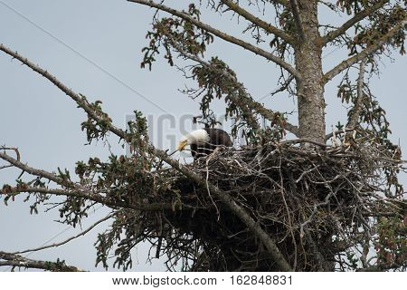 Bald Eagle In A Nest