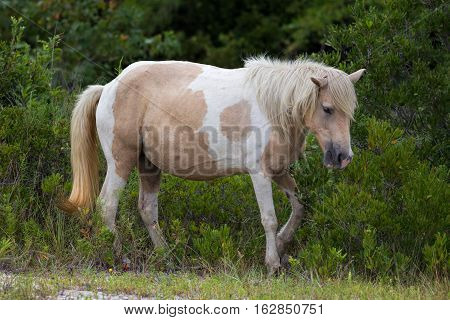 A Wild pony horse of Assateague Island Maryland USA. These animals are also known as Assateague Horse or Chincoteague Ponies. They are a breed of feral ponies that live in the wild on an island off the coast of Maryland and Virginia. It is unknown how the